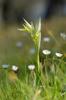 Serapias orientalis subsp. carica var chlorantha, Lesvos 2014-04-15