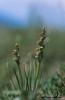 Chamorchis alpina, Hemavan 2004-07-24