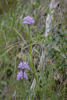 Neotinea commutata, Lesvos (Gr.) 2014-04-16