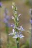Limodorum abortivum, Lesvos (Gr.) 2014-04-16