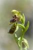 Ophrys attica, Lesvos (Gr.) 2014-04-14
