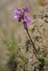Orchis sezikiana, Karionas, Lesvos (Gr.) 2014-04- 16