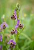 Ophrys homeri, Lesvos 2014-04-17
