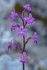 Orchis quadripunctata, Lesvos (Gr.) 2014-04-15