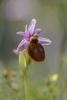 Ophrys lesbis, Andissa, Lesvos (Gr.) 2014-04-14