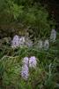 Orchis italica, Lesvos 2014-04-17