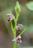 Ophrys cornutula, Lesvos 2014-04-17