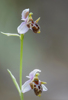 Ophrys cornutula, Lesvos 2014-04-13