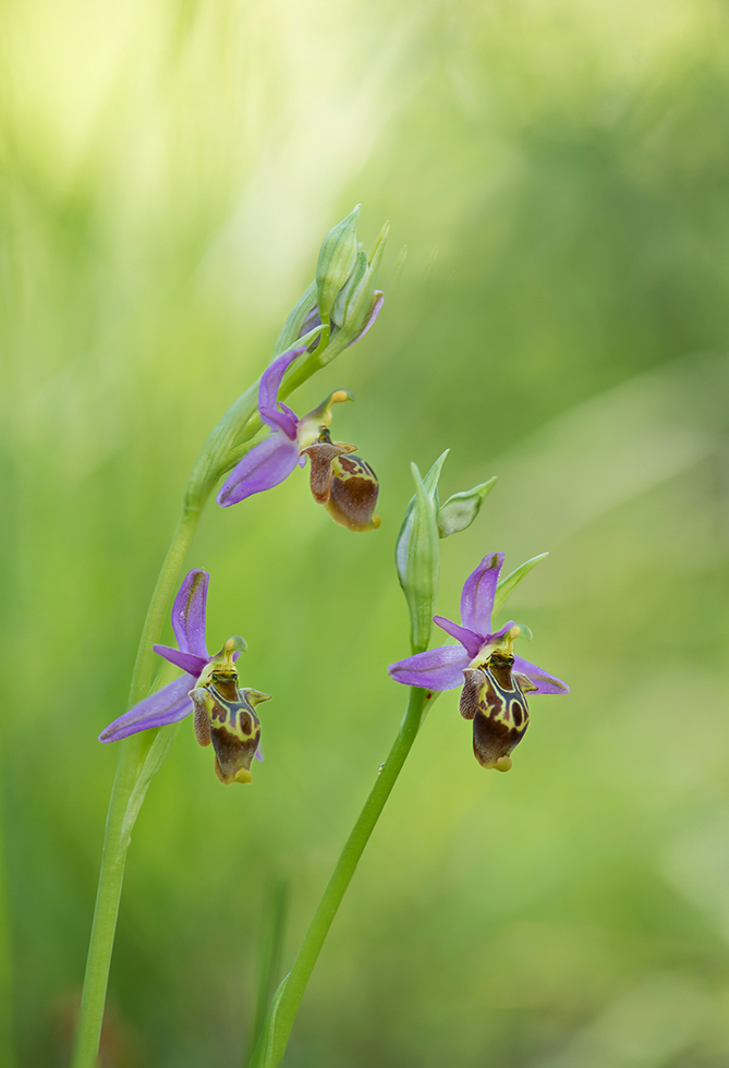 Ophrys ceto, Lesvos (Gr.) 2014-04-13