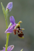 Ophrys minutula, Lesvos 2014-04-15