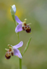 Ophrys minutula, Lesvos 2014-04-15