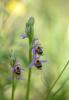 Ophrys homeri, Lesvos 2014-04-13