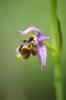 Ophrys homeri, Lesvos 2014-04-12
