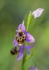 Ophrys orphanidea, Lesvos (Gr.) 2014-04-15