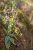 Ophrys orphanidea, Lesvos (Gr.) 2014-04-13