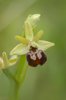 Ophrys ausonia, Abruzzo (It.) 2014-05-20