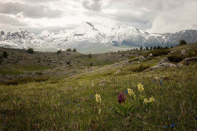 Dactylorhiza sambucina, Parco Nazionale d'Abruzzo, Lazio e Molise, (It) 2014-05-19