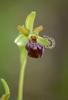 Ophrys brutia, Abruzzo (It.) 2014-05-21