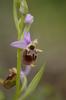 Ophrys dinarica, Abruzzo 2014-05-18