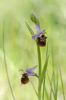 Ophrys dinarica, Abruzzo 2014-05-21