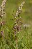 Himantoglossum adriaticum, Abruzzo (It.) 2014-05-18