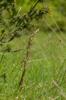 Himantoglossum adriaticum, Abruzzo (It.) 2014-05-20
