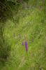 Orchis mascula ssp speciosa, Abruzzo (It.) 2014-05-20