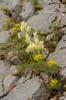 Orchis pauciflora, Abruzzo (It.) 2014-05-18