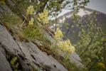 Orchis_pOrchis pauciflora, Abruzzo (It.) 2014-05-18auciflora_10