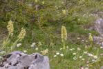 Orchis pallens, Abruzzo (It.) 2014-05-18