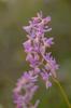 Orchis mascula x pauciflora, Abruzzo 2014-05-18