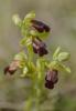 Ophrys lucana, Abruzzo 2014-05-20