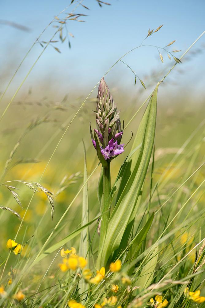 En blåsig dag i juni: Englandsnycklar, Dactylorhiza pratermissa, Lidköping 2014-06-12
