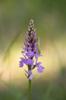 Dactylorhiza maculata subsp. maculata, Halleberg 2014-06-15
