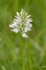 Dactylorhiza maculata var. alba, Blekinge 2014-06-25