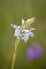 Dactylorhiza maculata var. alba, Blekinge 2014-06-26