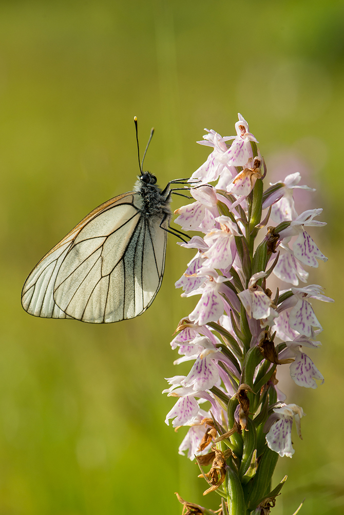 Juni:  Jungfru Marie nycklar, Dactylorhiza maculata, med hagtornsfjäril, Blekinge 2014-06-26