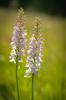Dactylorhiza maculata subsp. maculata, Blekinge 2014-06-26