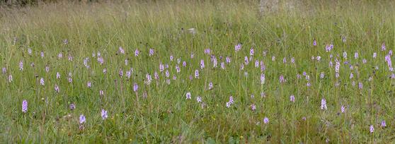 Massblomning av Dactylorhiza maculata, Blekingen 2014-06-25