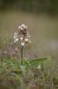 Epipactis palustris, Sillvik, Torslanda 2014-07-03