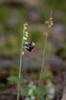 Goodyera repens pollineras av humla, Hunneberg 2014-07-23