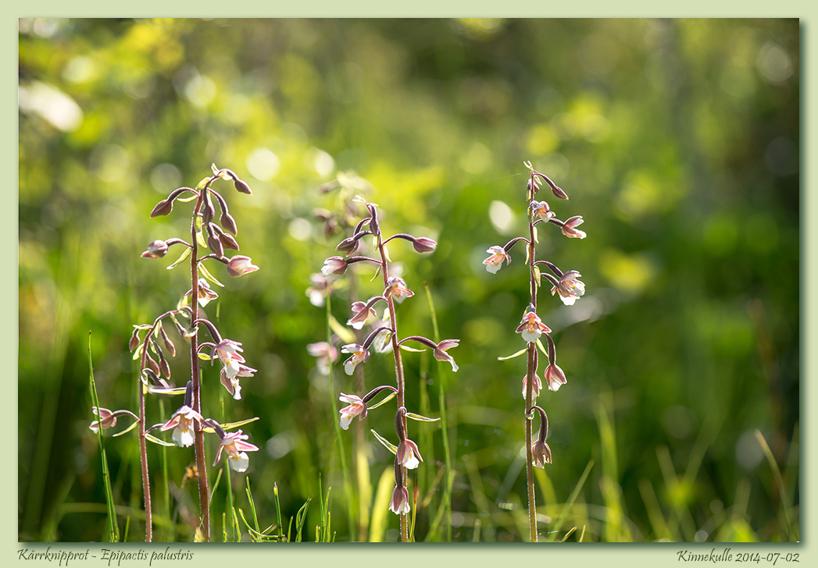 Kärrknipperot, Epipactis palustris, Kinnekulle 2014-07-02