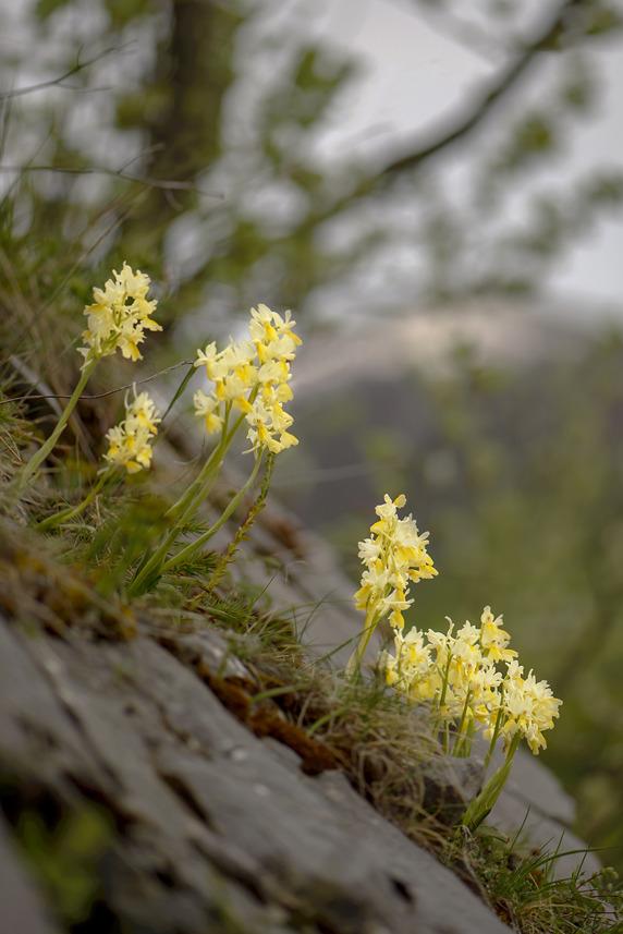 Oktober: Minne från Abruzzerna, Italia, Orchis pauciflora 2014-05-18