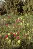 Dactylorhiza sambucina, Stora Karlsö, Gotland, maj 1979