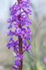 Orchis mascula subsp. pinetorum, Samos (Gr.) 2015-04-18