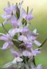 Dactylorhiza romana subsp. romana, intermediär form, Samos(Gr.) 2015-04-18)