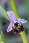 Ophrys samia, Samos (Gr.) 2015-04-16