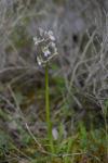 Anacamptis picta subsp. caucasica, Lesvos (Gr.) 2014-04-15