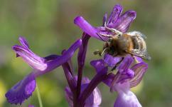 Anacamptis morio subsp. caucasica, Samos (Gr.) 2015-04-13
