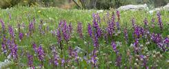 Orchis anatolica, Samos (Gr.) 2015-04-18